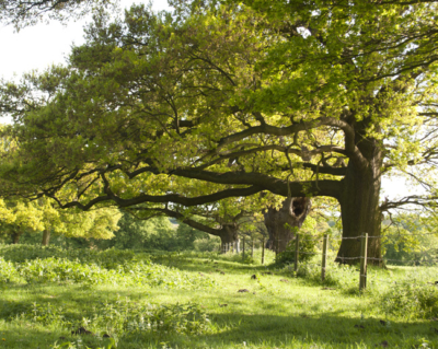 Native English Oak Tree
