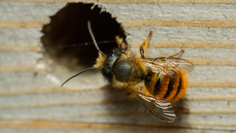 The bee that gets a buzz from buildings!